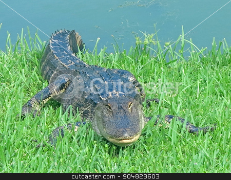 Alligator stock photo, An alligator resting on the grass next to water by Lucy Clark