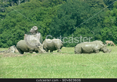 Rhinos stock photo, Three Rhinos are grazing on the grass by Lucy Clark