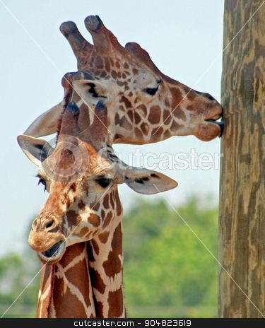 Giraffes stock photo, Two giraffes with one licking the wood by Lucy Clark