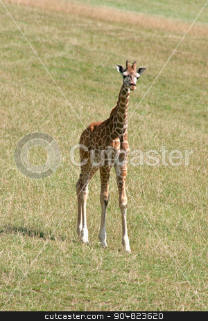 Baby Giraffe stock photo, A baby giraffe standing on the grass by Lucy Clark