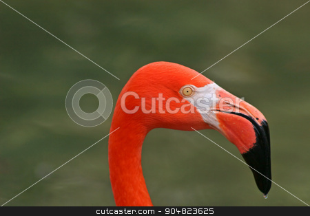 Flamingo stock photo, The head of a red flamingo, green background by Lucy Clark
