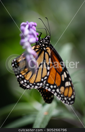 Monarch Danaus Plexippus stock photo, A colorful Monarch Danaus Plexippus butterfly. by Henrik Lehnerer