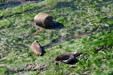 Seals stock photo, Seals at the Carpinteria Harbor Seal Rookery by Henrik Lehnerer
