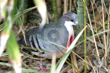 Bleeding Heart Pigeon stock photo, The Luzon Bleeding Heart is one of a number of species of ground dove that are called by Henrik Lehnerer