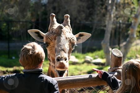Baringo Giraffe stock photo, The little girl is feeding the Baringo Giraffe by Henrik Lehnerer