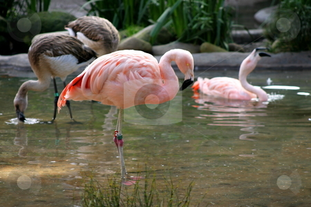 Chilean Flaming stock photo, Pink Chilean Flaming looking for food in the water. by Henrik Lehnerer