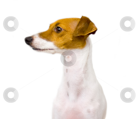 Italian Greyhound stock photo, Italian greyhound profile isolated on white by John Teeter