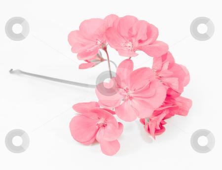 Pink geranium bloom stock photo, Pink geranium bloom by John Teeter