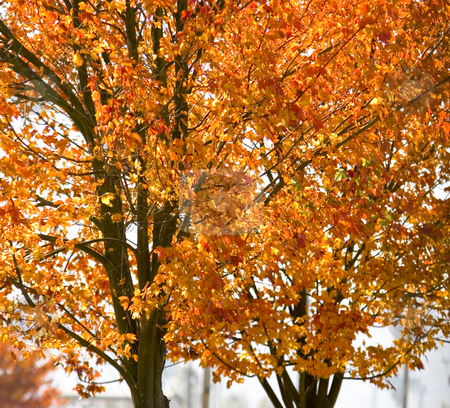 Fall leaves  stock photo, Seasonal fall leaves on tree close up by John Teeter