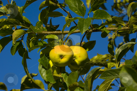 Green apples with blue sky stock photo, Green apples with blue sky background by John Teeter
