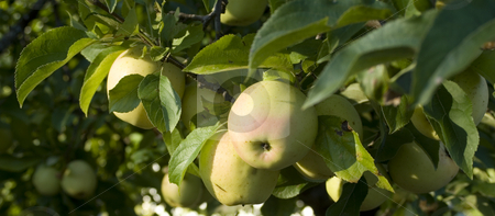Apples hanging from branch stock photo, Apples hanging from tree branch by John Teeter