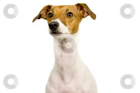 Italian greyhound begging stock photo, Italian greyhound begging isolated by John Teeter