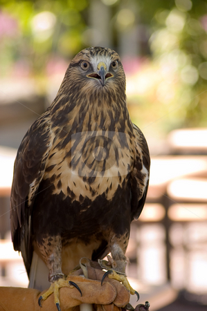 Buse_Pattue Roughlegged Buzzard stock photo, Shot of a Rough-legged Buzzard at the zoo by Jean Larue-Frechette