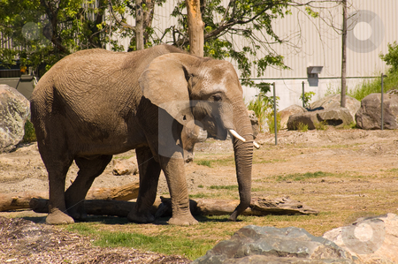 Elephant stock photo, An elephant shot at granby zoo in Canada by Jean Larue-Frechette