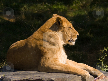 Lioness stock photo, A lioness resting on a rock by Jean Larue-Frechette