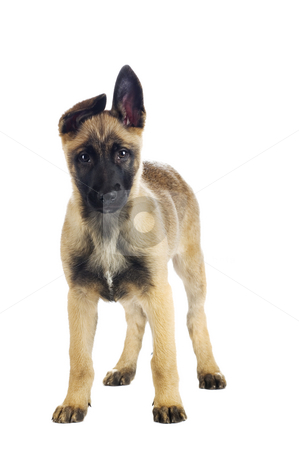 Cute puppy stock photo, Cute puppy looking straight into the lens by Tommy Maenhout