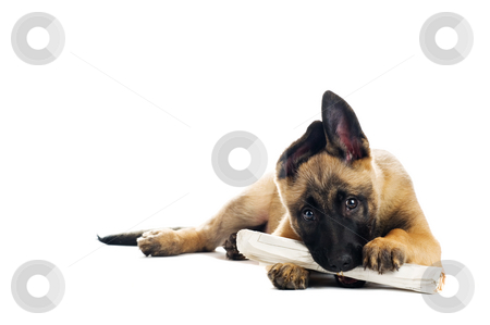 Cute puppy stock photo, Cute puppy enjoying its morning paper by Tommy Maenhout