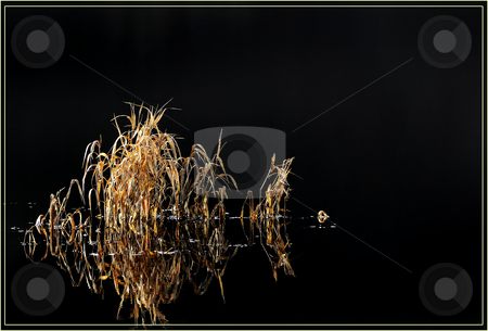 Dark water with yellow reeds to left stock photo, A small group of yellow reeds standing out of some dark water by Stefan Edwards
