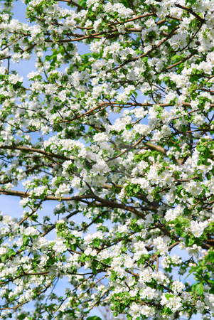 Apple blossom stock photo, Abundant white blossom of an apple tree in the spring orchard by Elena Elisseeva