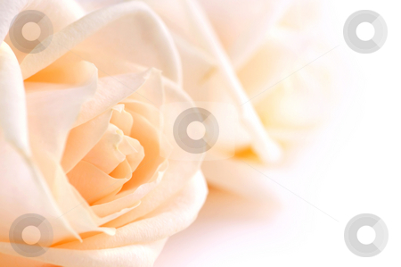 Delicate beige roses stock photo, Two delicate high key beige roses macro floral background by Elena Elisseeva