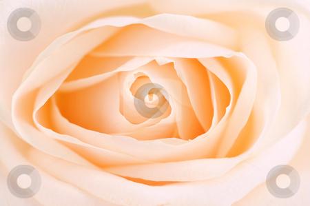 Delicate beige rose stock photo, Delicate high key beige rose macro floral background by Elena Elisseeva