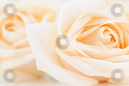 Delicate beige roses stock photo, Delicate high key beige roses macro floral background by Elena Elisseeva