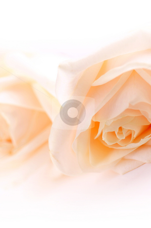 Delicate beige roses stock photo, Floral background of two delicate high key beige roses macro by Elena Elisseeva