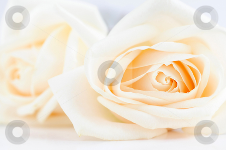 Delicate beige roses stock photo, Two delicate high key beige roses macro by Elena Elisseeva