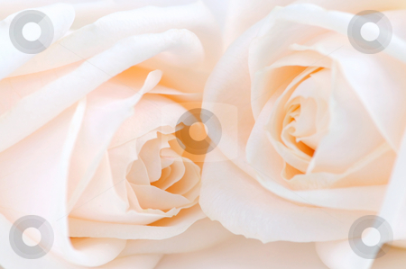 Beige roses stock photo, Two delicate high key beige roses macro floral background by Elena Elisseeva