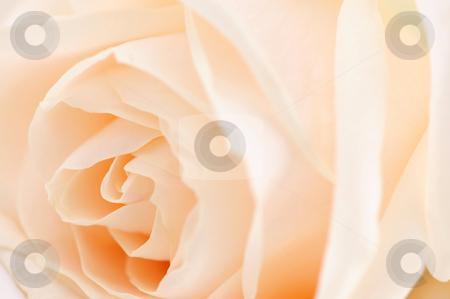 Beige rose stock photo, Macro of a delicate beige rose flower by Elena Elisseeva