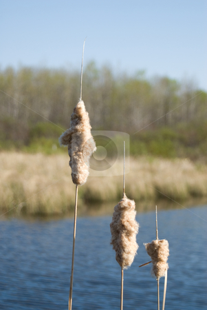 Swamp Land stock photo, Close-up view of three cattails in some swamp land by Richard Nelson