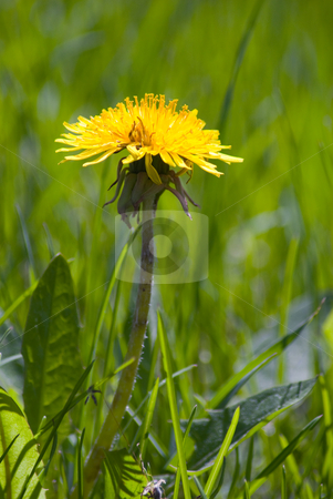 Single Dandelion stock photo, A single dandelion growing tall surrounded by grass by Richard Nelson