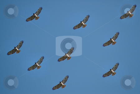 Hawk Background stock photo, A background made with hawks flying high in the air by Richard Nelson