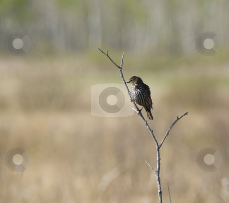 Small Bird stock photo, A small bird taking a rest on a twig by Richard Nelson