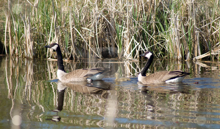 Canada Geese Family stock photo, A family of Canada Geese swimming in the water by Richard Nelson