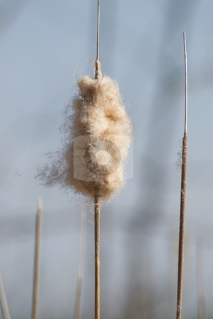Cattail stock photo, Close-up view of a puffed up cattail by Richard Nelson
