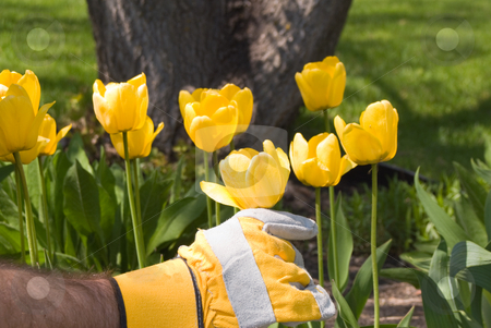 Gardening stock photo, Close-up of a hand adjusting some tulips by Richard Nelson
