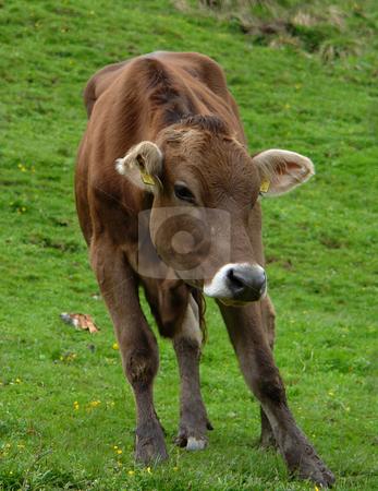 Cows, cows on Alpine meadow stock photo, Urlaub Pfingsten 2006 Hinterglemm ???sterreich by Wolfgang Heidasch