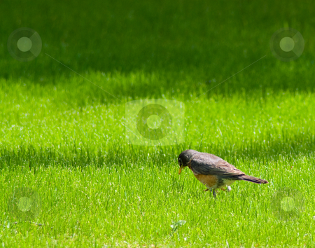 Small Bird stock photo, A small bird looking for worms in the grass by Richard Nelson