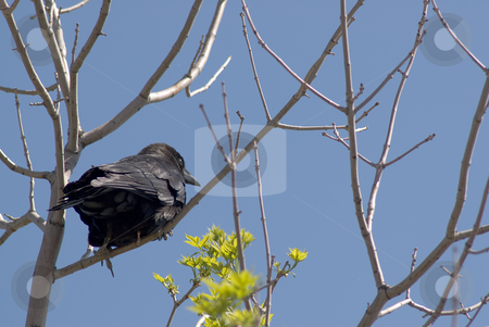 Crow stock photo, A black crow facing away from the camera, perched in a tree by Richard Nelson