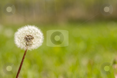 Dandelion Seeds stock photo, A single stem of dandelion seeds shot outside by Richard Nelson
