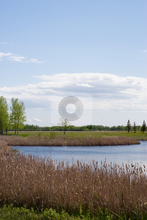 Wetlands stock photo, A vertical view of a small marsh full of reeds and cattails by Richard Nelson
