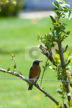 Robin stock photo, A robin perched on a tree branch by Richard Nelson