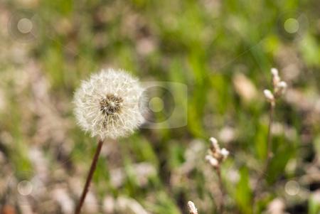 Dandelion Seeds stock photo, Dandelion seeds shot against a grassy green background by Richard Nelson