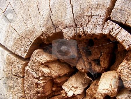 Cobweb in Wood
