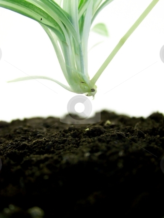 Baby Spider Plant About to Take Root stock photo, Image of a baby spider plant moving toward the earth where it will root. by Jill Oliver