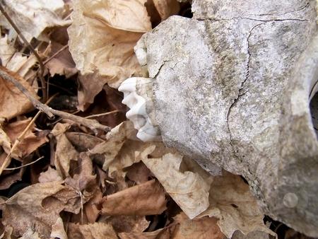 Deer Teeth stock photo, Image of a deer skull on dead leaves, with focus on teeth. by Jill Oliver