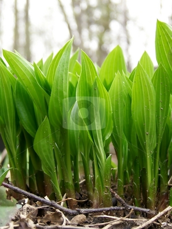 Spring Hostas stock photo, Vertical image of bright green, young hostas in the spring. by Jill Oliver