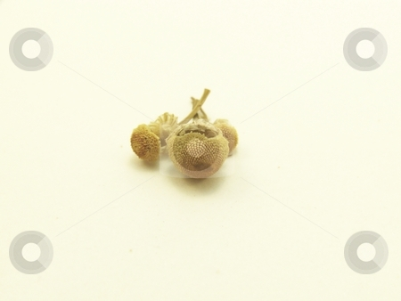 Dried Chamomile Buds stock photo, Detailed image of three dried, pale yellow, chamomile flower buds centered on white background.  Horizontal orientation. by Jill Oliver