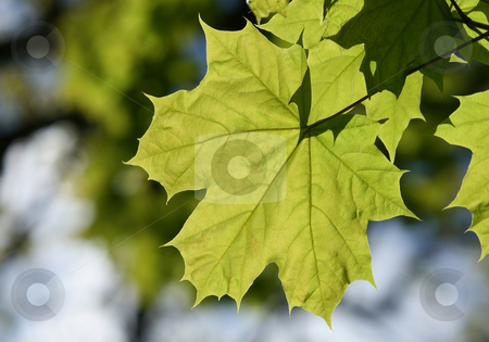 Leaf stock photo, Green leaf in the forest by Kjell Westergren